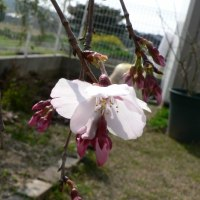 平安枝垂れ桜が咲きはじめました