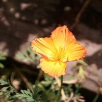 ペチュニア VIVA  +お庭のエスコルチア*