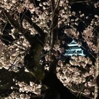 松本城桜咲く