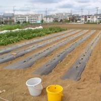 サツマイモ植え付け第二弾
