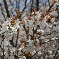 週末はお花見三昧*里山防災林の里桜+α編。