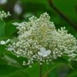 サビタの花(ノリウツギ)