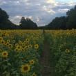 メリーランド州のひまわり畑