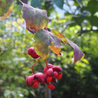 庭のツリバナ(吊り花)