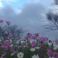満開の秋桜