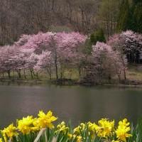 中綱湖の桜の短いドラマ