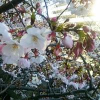 神田川沿いの桜