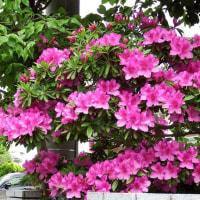 オオムラサキツツジ開花