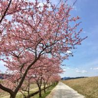 大東の河津桜