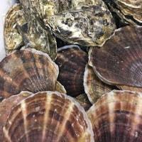 サロマ湖の孤太郎牡蠣