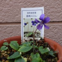 スミレの育て方11月 スミレの花を楽しむ  雲南スミレ開花