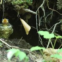 オオルリの巣立ち