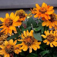 ガザニアという花