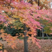 香澄公園の紅葉