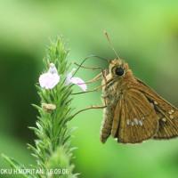 オオチャバネセセリ(蝶)?