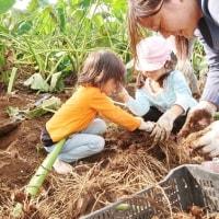 10/23 大久保農園報告 WAKUWAKUつづき サトイモ掘り