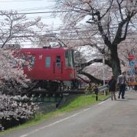 桜の見頃!新境川