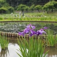 北山公園・菖蒲 6