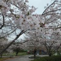 満開の桜見~♪