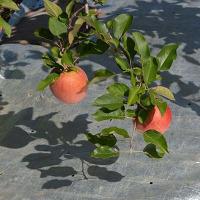 リンゴ畑の反射シート