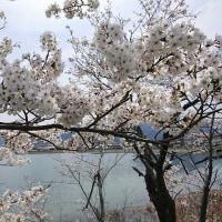 今年も桜!
