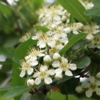 突然の小さな花群「ピラカンサス」開花。
