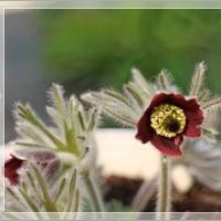 庭の花 クロッカスとオキナグサ