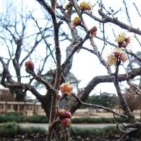 梅まつり2月18日スタート