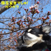 開花宣言でしゅ!