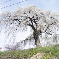 大久保のしだれ桜  宇木の桜(2)