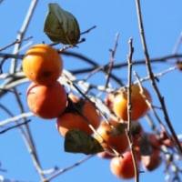 もったいない≪柿の実≫