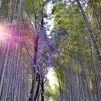竹林の雪化粧 嵐山・野宮神社