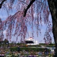 横浜市中区・シドモア桜を眺める