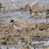 4/25探鳥記録写真(響灘ビオトープの鳥たち:タカブシギ、ウズラシギ、アオアシシギほか)