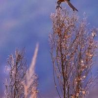 今日の野鳥  モズ・ノビタキ