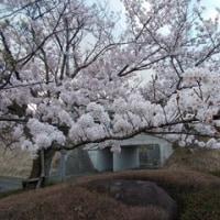 てまりのような桜です
