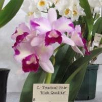 ◇C. Tropical Fair'High Quality'