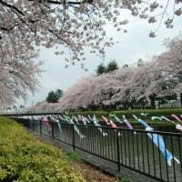 桜とこいのぼりの里まつり