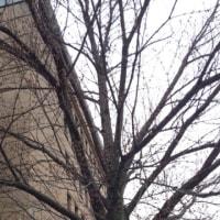 今朝の街路樹