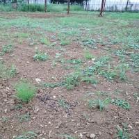 2017年6月11日 残りのキタアカリの収穫を行いました。