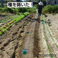 ちっとも大きくならへん小松菜!蒔き直し!