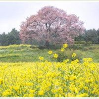 馬場の一本桜