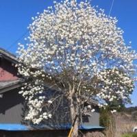 春です! モクレンが咲き始めました。