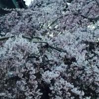 桜が咲きましたね~  さいたま浦和にも