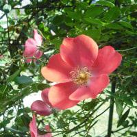 素敵な色 バラのアムステルビーン
