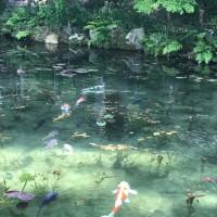 話題のモネの池に行ってみた。