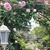 薔薇男爵のバラ作業♪