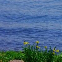 湖畔のカキツバタ