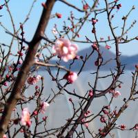 梅の開花が始まりました