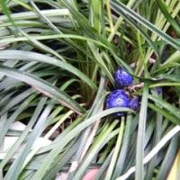 庭の草花(沈丁花)